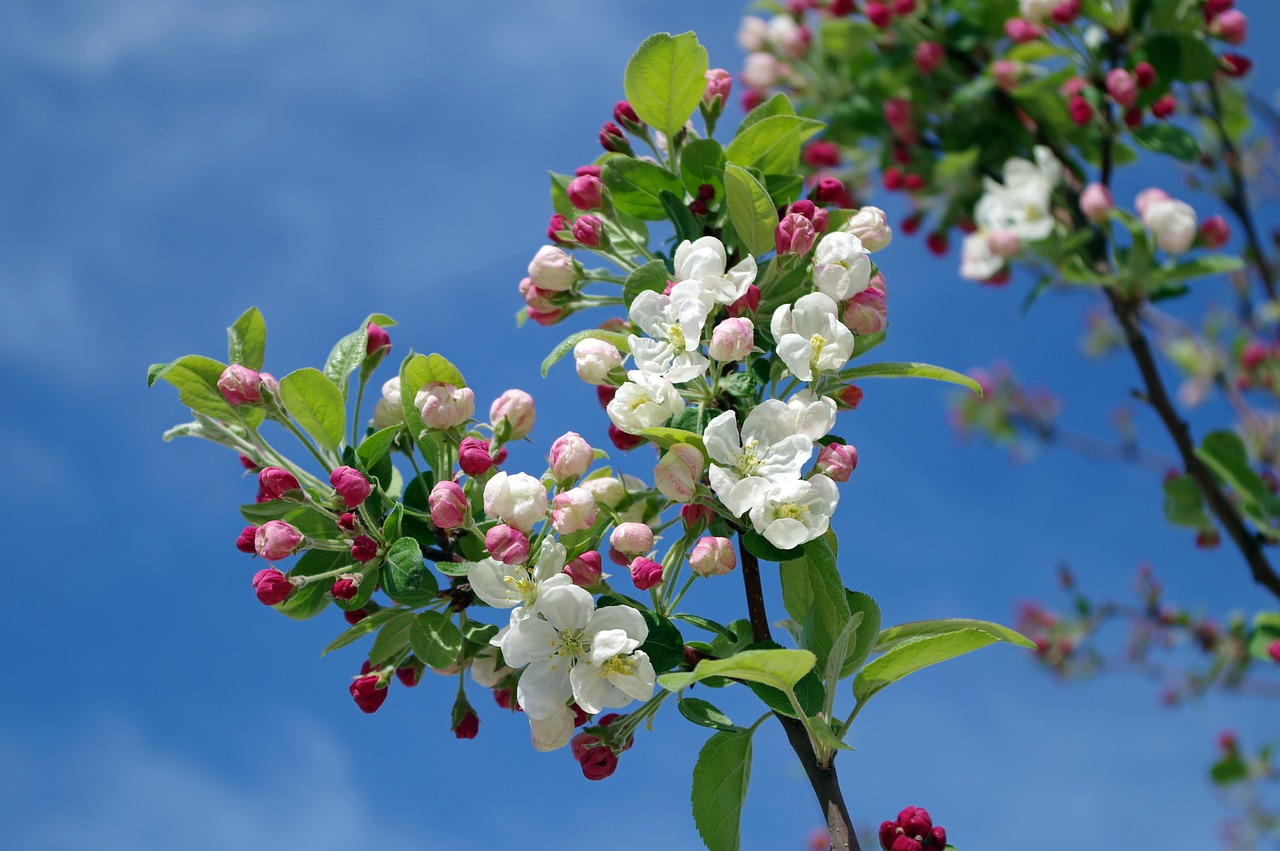 apple-blossom-173566 1280